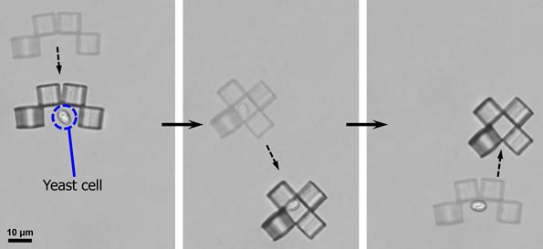 Microbot Captures Yeast Cell